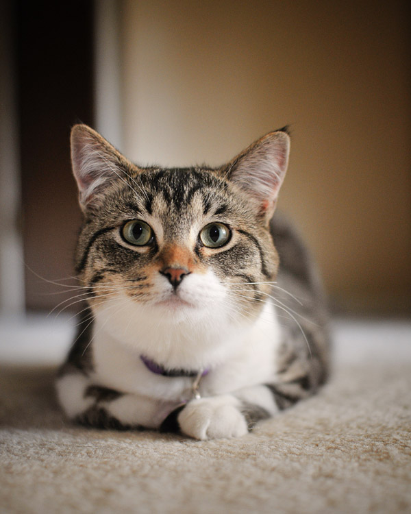 Howie, Tabby Cat - Portland Pet Photographer