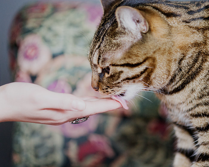 Cat Licking Owner's Hand