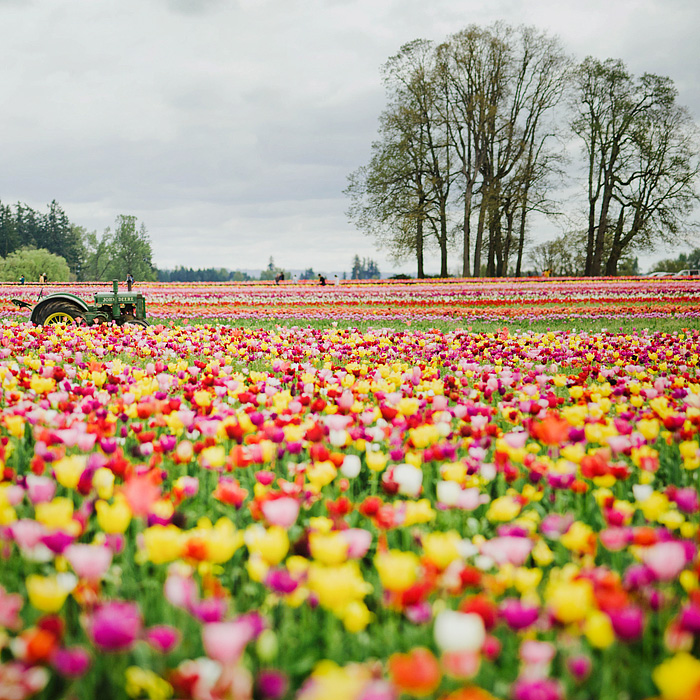 Wooden Shoe Tulip Farm - Portland Lifestyle Photographer - Woodburn, OR