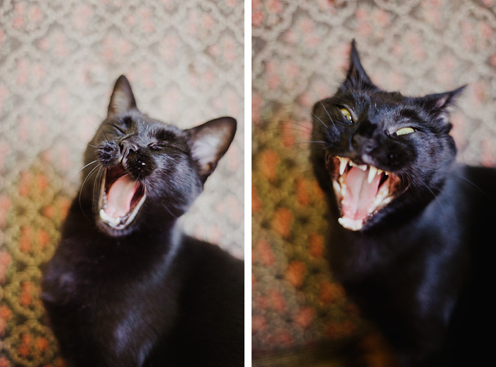 Portland Pet Photographer - Yawning Cat Diptych