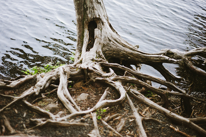 Dead Tree Roots at Lost Lake, OR