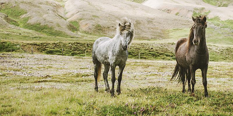Iceland Wedding Photographer - Wild horses just outside of Akureyri