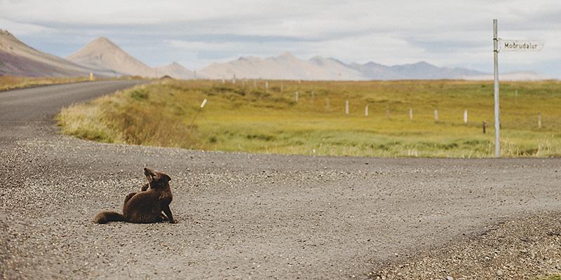 Iceland Wedding Photographer - An arctic fox in Möðrudalur