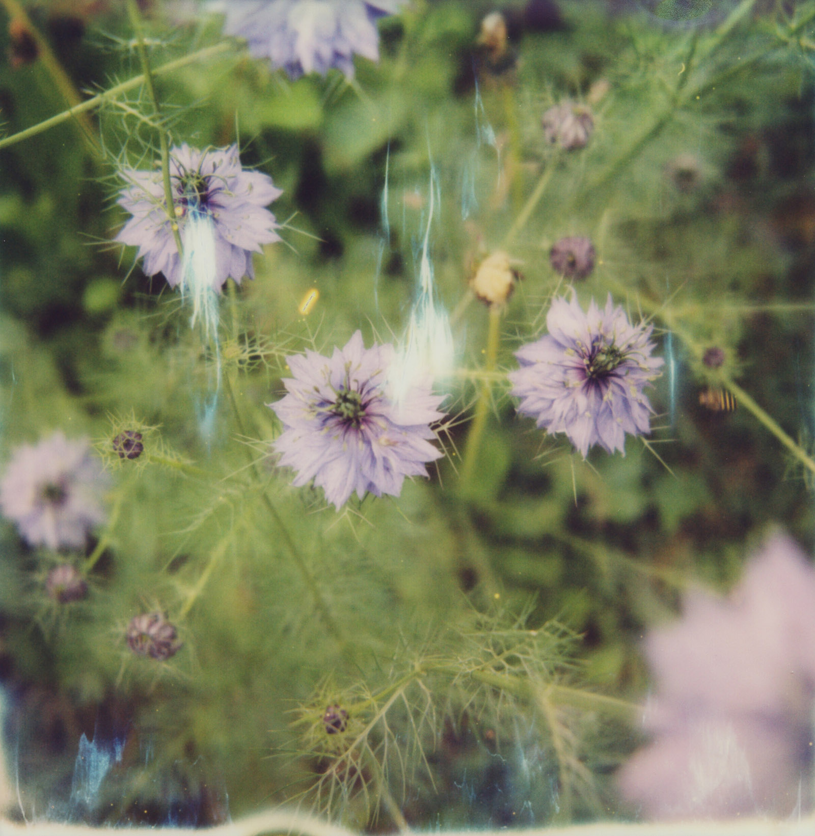 MiNT SLR670m Polaroid Review | Devil in the Bush, Love in a Mist
