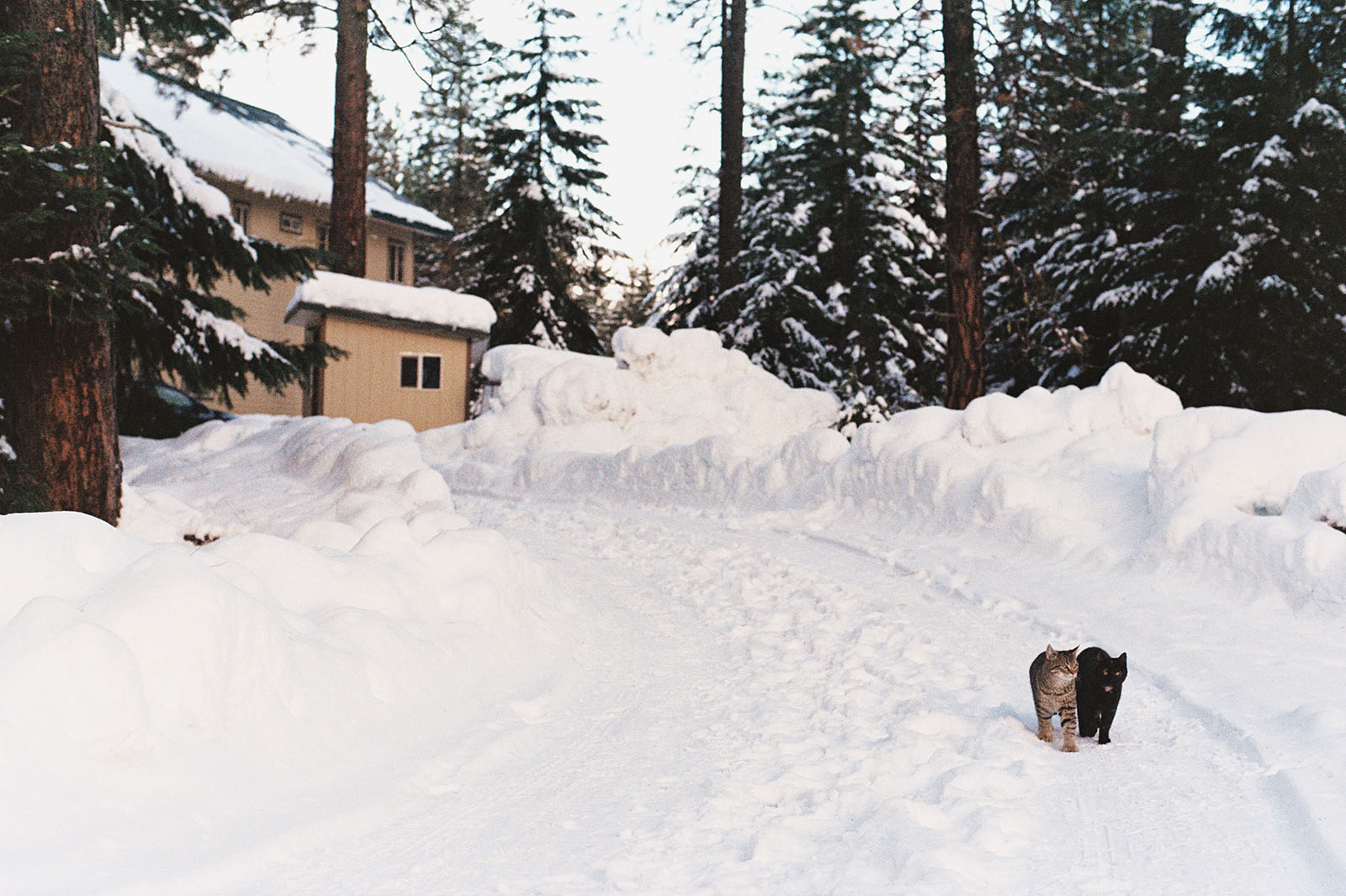 Two cats walking down a snowy driveway in Trout Lake, WA | Contax Aria