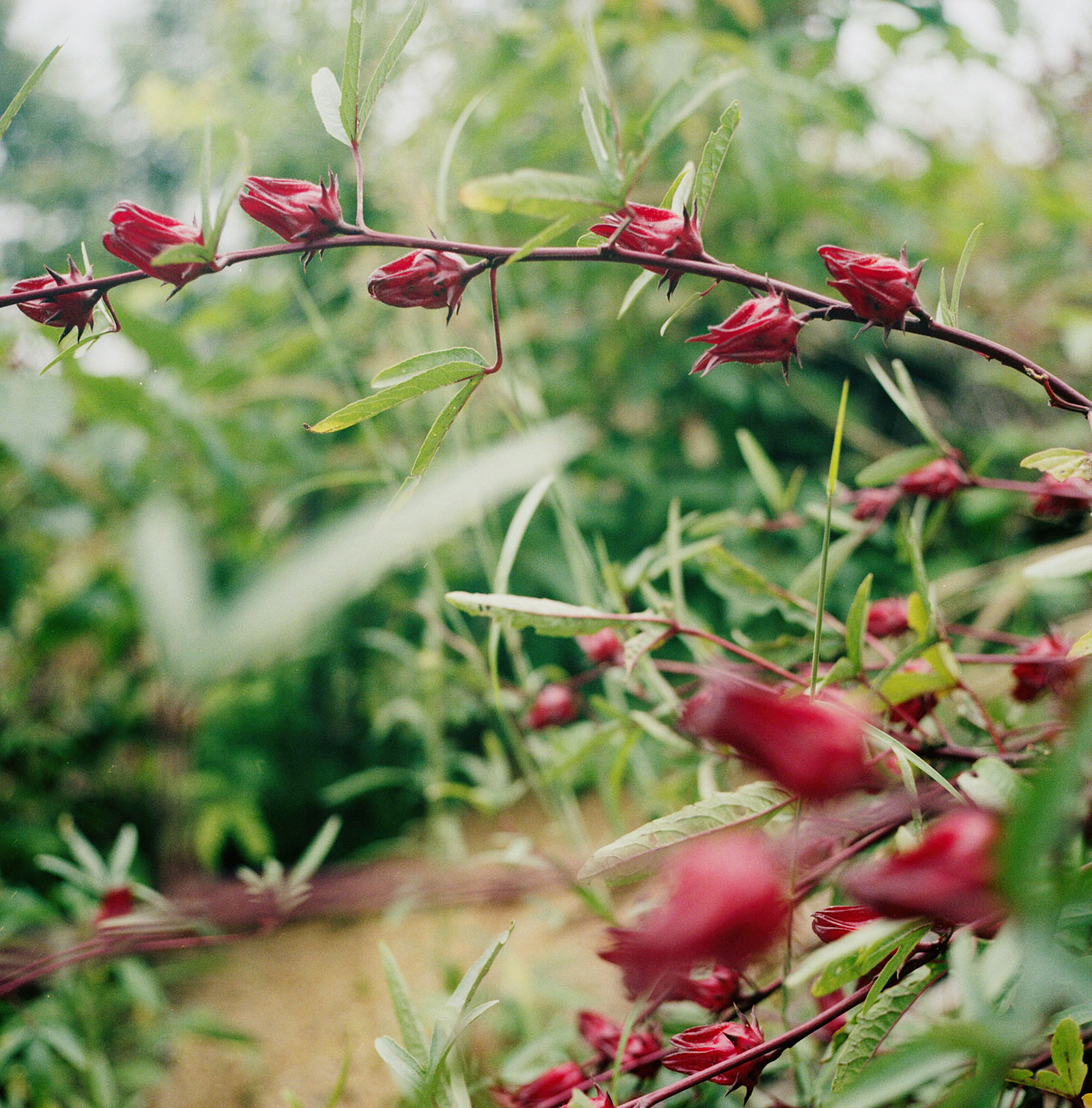 Roselle flowers at the Farmer's Land Crack in Pai | Thailand Travel Photos