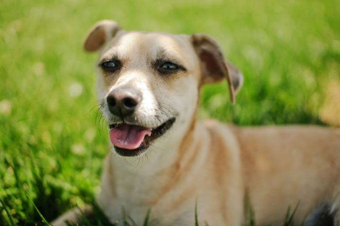 Sir Didymus - Dog Portrait - Portland Pet Photographer