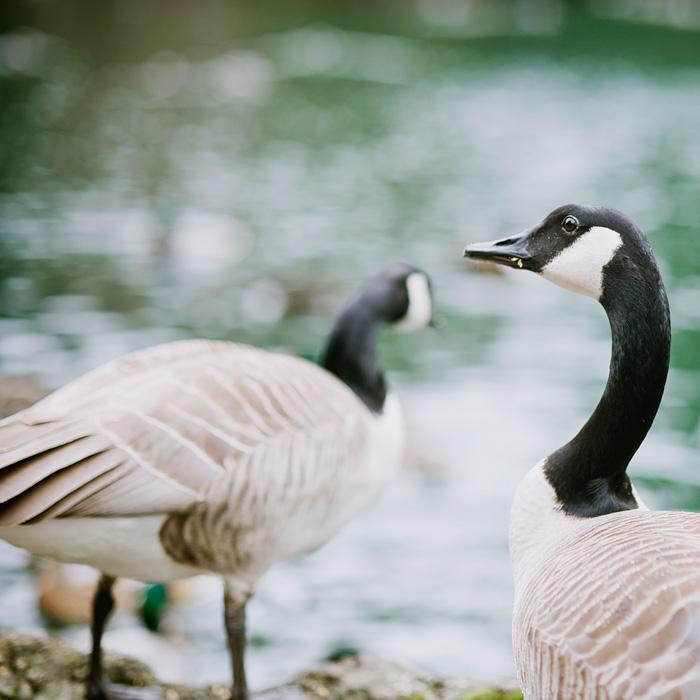 Portland Oregon - Laurelhurst Park - Geese