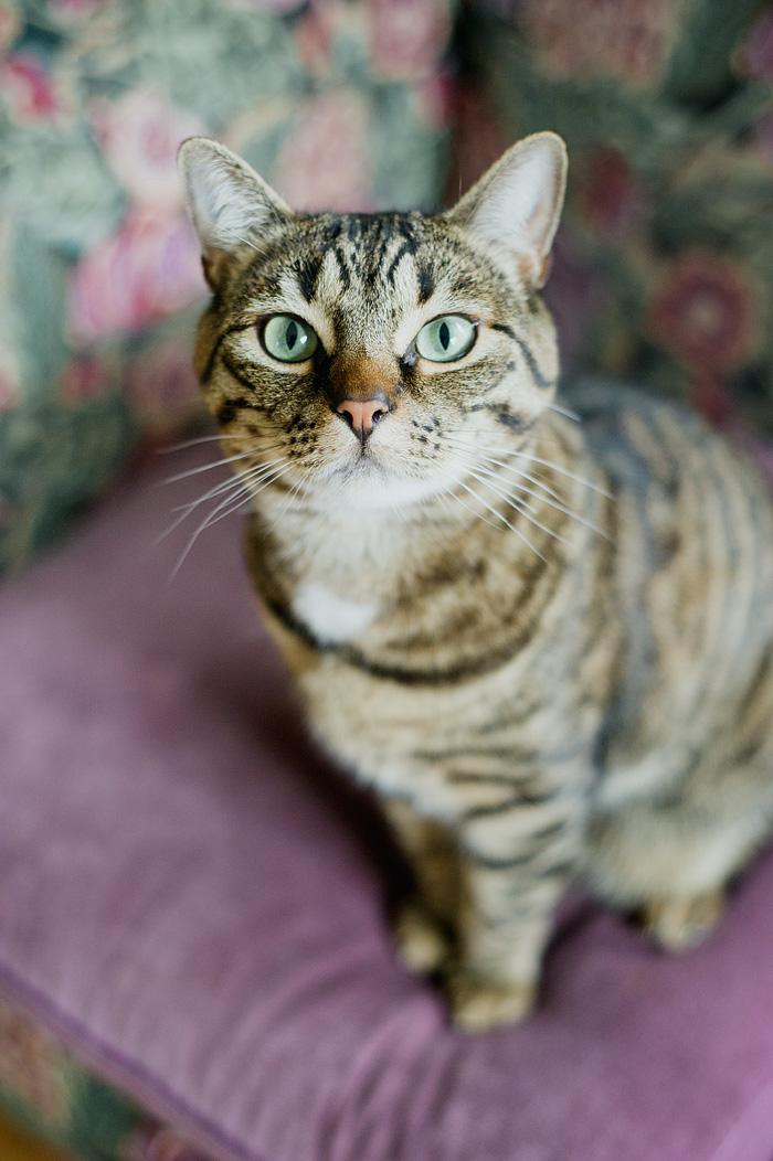 Diego - Cat Portrait - Portland Pet Photographer