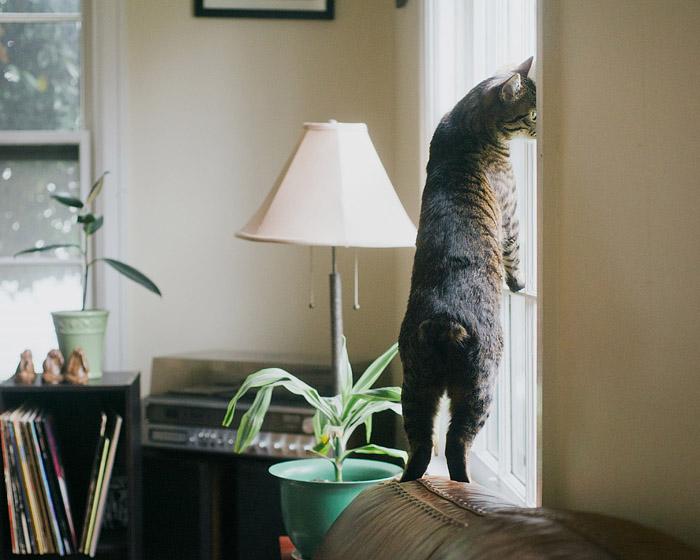 Manx Tabby by the Window - Lifestyle Cat Portrait