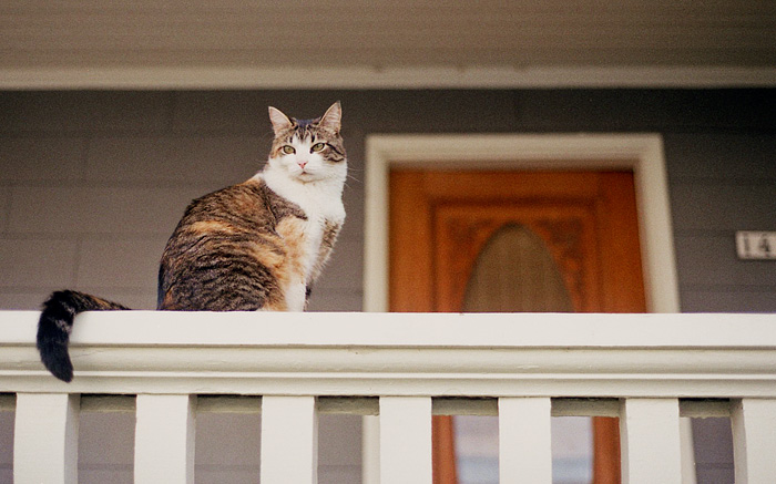 Portland Pet Photographer - Cat on Hawthorne