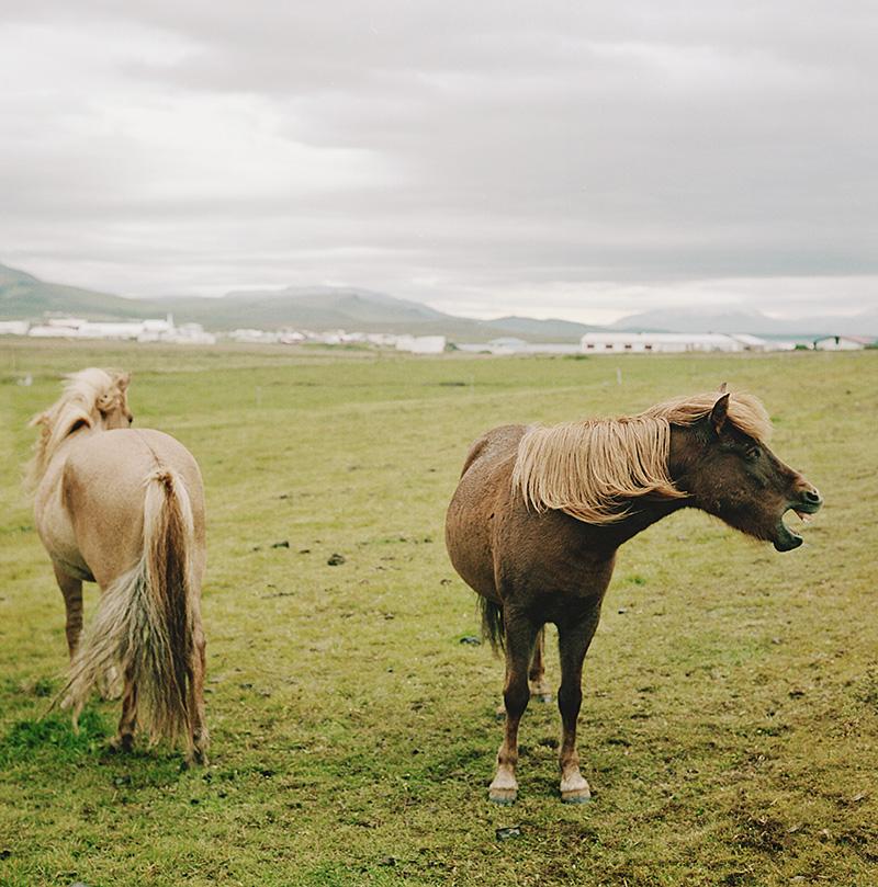 Iceland Wedding Photographer - Horses in Skagaströnd - Gifting Ljósmyndari