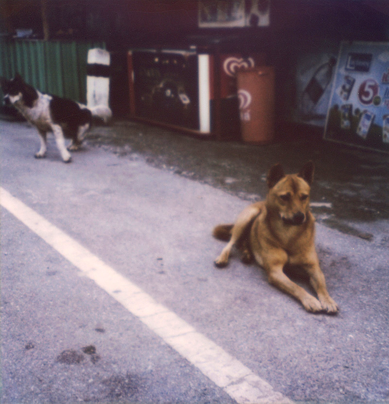 Stray dogs in rural Chiang Mai, Thailand | SLR680 Polaroid