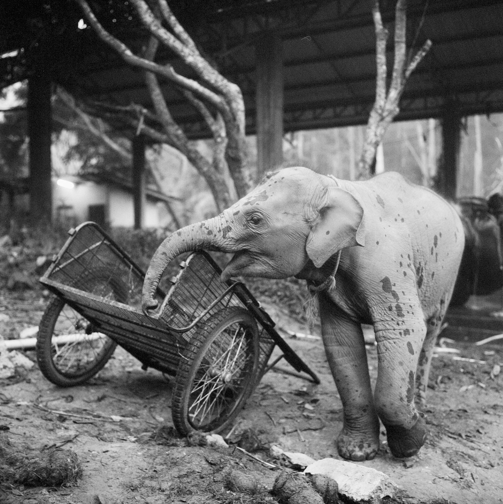 Baby elephant at Chai Lai Orchid | Thailand Travel Photos
