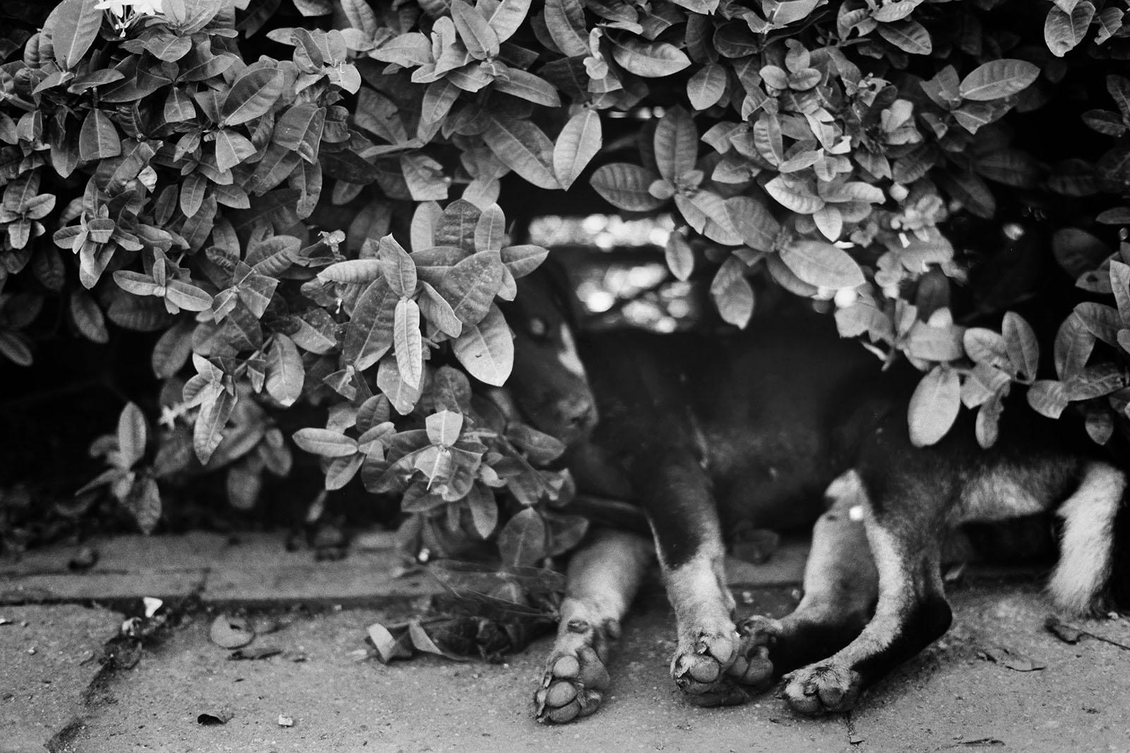 Soi dog sleeping in the bushes | Thailand Travel Photos