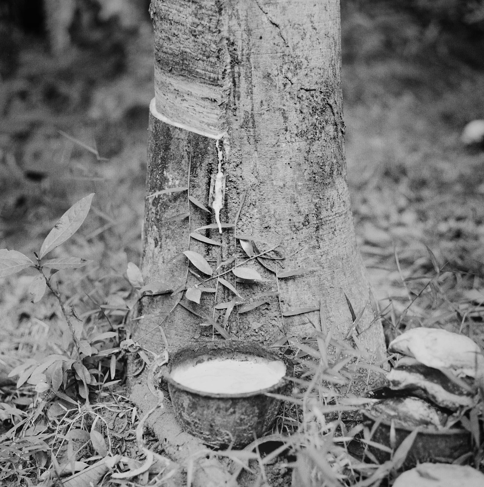 Rubber tree farms | Thailand Travel Photos